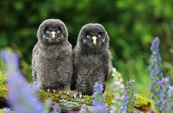 Strix nebulosa owl friends. Young tawny owl Strix nebulosa royalty free stock image
