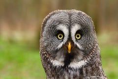 Strix nebulosa portrait. Majestic tawny owl Strix nebulosa in spring royalty free stock photography