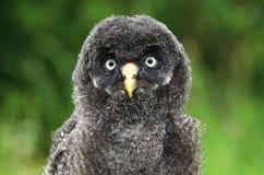 Strix nebulosa portrait. Young tawny owl Strix nebulosa stock photo