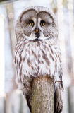 Strix nebulosa Stock Photo
