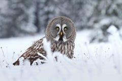 Strix nebulosa in winter. Tawny owl Strix nebulosa in winter royalty free stock photos