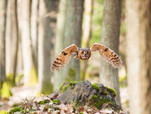 Strix otus fly through forest - Long-eared owl Stock Photography
