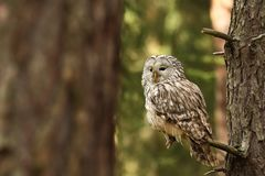 Strix uralensis. He lives in Europe and Asia. In Czech it is rare. royalty free stock photo