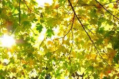 Strålar av solen bland de gulna höstsidorna Arkivfoto