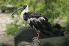 Stro-necked ibis Royalty-vrije Stock Afbeelding