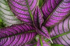 Strobilanthes dyeriana波斯盾是为它的与明亮,金属紫色条纹的深绿叶子增长的一个热带植物 免版税库存照片