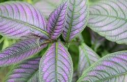 Strobilanthes dyeriana plant(persian shield). Stock Photos