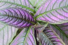 Strobilanthes dyeriana plant(persian shield). Royalty Free Stock Photography
