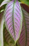 Strobilanthes dyeriana plant(persian shield). Royalty Free Stock Photos
