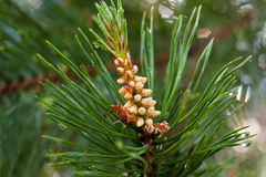 Strobile on the branches of pine Stock Photos