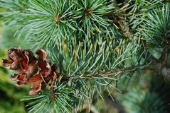 Strobile on the pine stick. Royalty Free Stock Photography