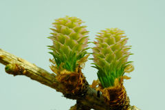 Strobiles лиственницы Стоковые Фото
