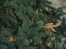 Strobiles растя на елевых ветвях Стоковые Изображения RF
