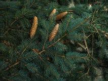 Strobiles растя на елевых ветвях Стоковая Фотография
