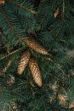 Strobiles растя на елевых ветвях Стоковые Фотографии RF
