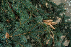 Strobiles growing on spruce branches royalty free stock photos