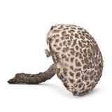 Strobilomyces strobilaceus mushroom Royalty Free Stock Images