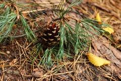 Strobilus im Wald Stockfotografie