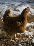 Strobist chicken Royalty Free Stock Images