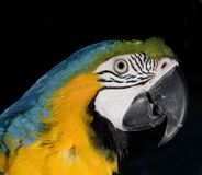 Strobist parrot Royalty Free Stock Photos