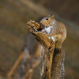 Strobist squirrel and deer Stock Photography