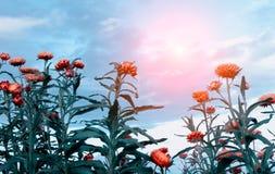 Strobloemen en zon Royalty-vrije Stock Afbeeldingen