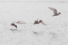 Stroboscopic study of flying Arctic Tern over lake Royalty Free Stock Photography