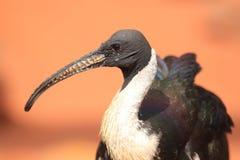 Stroh-necked IBIS stockfotografie