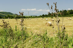 Strohballen auf einem Gebiet während der Sommerernte und -distel Lizenzfreies Stockfoto