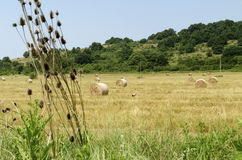 Strohballen auf einem Gebiet während des Sommers ernten in der Landschaft Lizenzfreies Stockbild