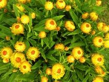 Strohblume im Garten, Litauen Lizenzfreie Stockfotos