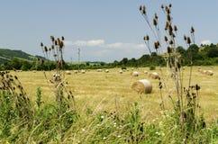 Strohrundballen auf einem Gebiet während der Sommerernte und die Distel und das Gras Stockfotografie