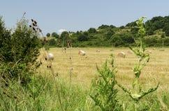 Strohrundballen auf einem Gebiet während der Sommerernte und die Distel und ein Storch Stockbild
