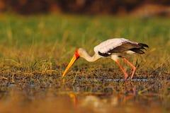 Strok在自然行军栖所 鹳在非洲 鸟在水中 从乌干达的鹳 黄色开帐单的鹳, Mycteria朱鹭, sitt 免版税库存图片