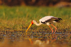 Strok in the nature march habitat. Stork in Africa. Bird in the water. Stork from Uganda. Yellow-billed Stork, Mycteria ibis, sitt Royalty Free Stock Images