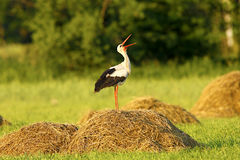 Strok. Spring country bird morning Royalty Free Stock Image