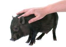 Stroking black piglet in studio Stock Photography
