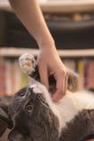 Stroking the cat's neck. In door shooting Stock Image