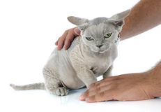 Stroking devon rex. Cat in front of white background Royalty Free Stock Photography