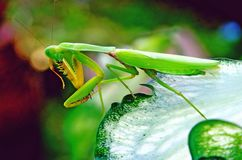 Beautiful mantis Stock Image