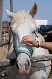 Stroking a horse. A horse is stroked on the nose royalty free stock photo