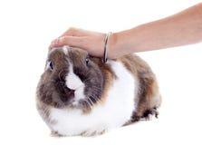 Stroking rabbit Stock Image