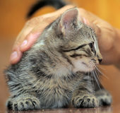 Stroking tabby kitten Stock Photo