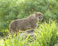 stroll гепарда Стоковое фото RF