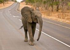 Stroll dell'elefante africano sulla strada principale Fotografia Stock