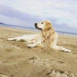 Stroll dog pet beach. Dog laying on the beach stock photo