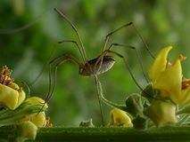 The stroll. A little stroll for this long legs spider among flowers and greens royalty free stock image