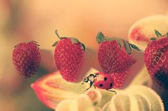 A stroll with strawberries - Ladybug on red. Double exposure inspiration, creates a dreamy view...A funny, red ladybug is walking next to fresh strawberries in a stock photography