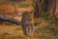 Stroller. Large Wild male leopard in botswana south africa Stock Images