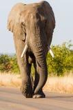 Strollin` Elephant Stock Images